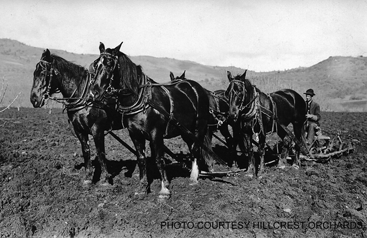 Horse drawn plow at Hillcrest Orchard in about 1909